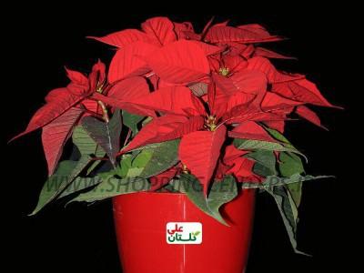 گل گل بنت قنسول معروف به گل کریسمس یا یلدا