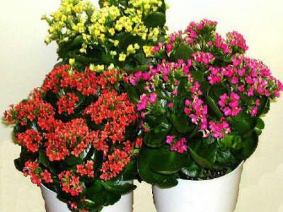 گل کالانکوا یا مرجان